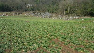 贵州省毕节市黔西县青皮萝卜 2~2.5斤