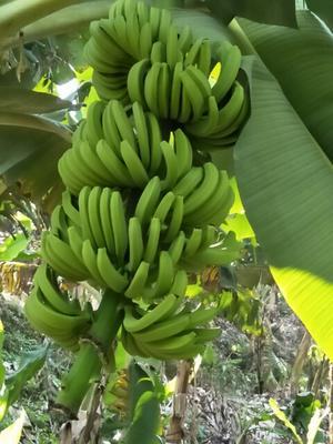 云南红河屏边苗族自治县河口香蕉 七成熟 70斤以上