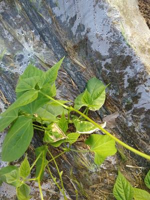 辽宁省朝阳市凌源市美国文图拉芹菜 45~50cm 大棚种植 1.0~1.5斤