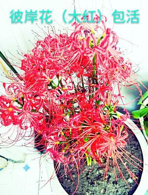 重庆奉节曼珠沙华盆栽