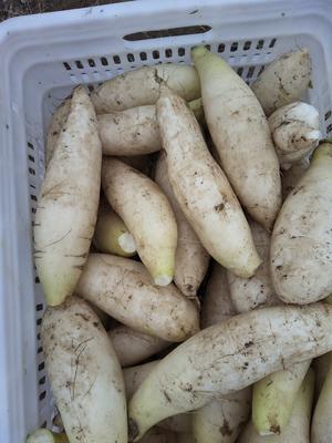 江西赣州信丰县白萝卜 2~2.5斤
