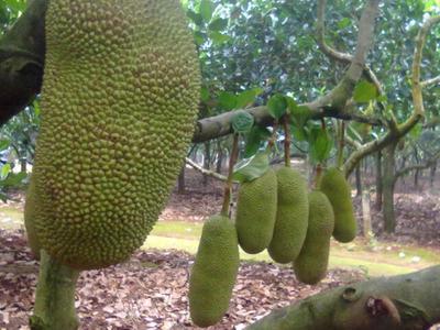 广西玉林博白县海南菠萝蜜 10-15斤