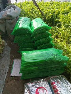辽宁省盘锦市盘山县铁杆芹菜 55~60cm 大棚种植 0.5斤以下