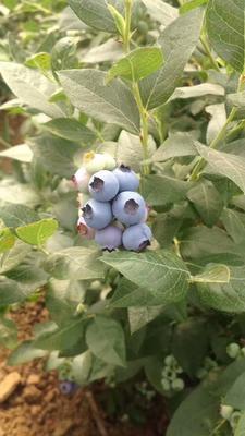 山东青岛黄岛区蓝丰蓝莓 鲜果 10 - 12mm以上