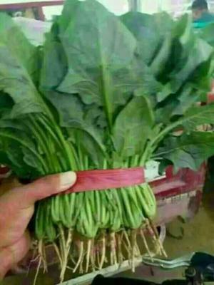河北邯郸永年县大叶菠菜 20~25cm