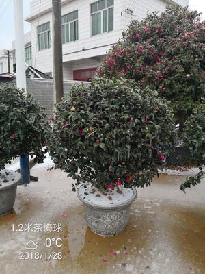 湖南长沙浏阳市茶梅 140cm以上