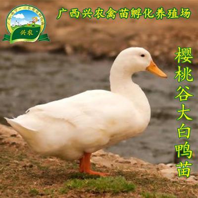 广西南宁兴宁区樱桃谷肉鸭苗