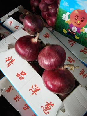 山东济宁金乡县红皮洋葱 8cm以上 红皮 3.5~4两