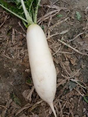 四川成都彭州市韩国白萝卜 1~1.5斤