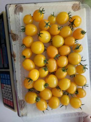 辽宁省丹东市东港市409金黄小柿子 4 - 5两以上