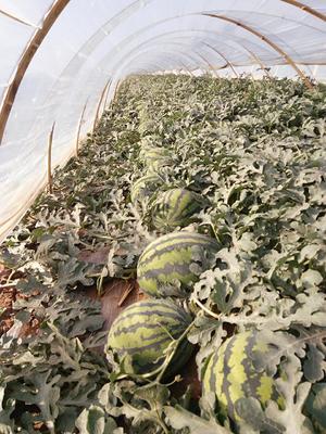 辽宁葫芦岛连山区甜王西瓜 有籽 1茬 9成熟 10斤打底