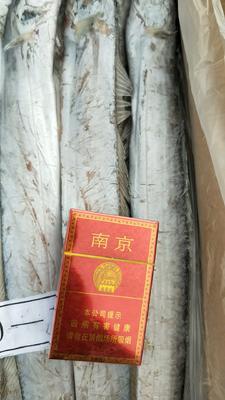 山东滨州沾化区舟山带鱼 野生 0.5龙8国际官网官方网站以下