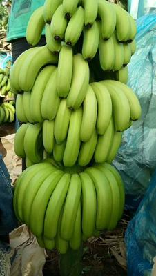 云南红河金平苗族瑶族傣族自治县金平香蕉 七成熟 40 - 50斤