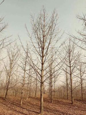 安徽阜阳太和县银杏实生树