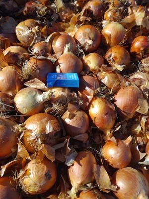 甘肃酒泉肃州区黄皮洋葱 6~8cm 黄皮 3.5~4两