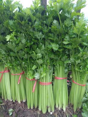 山东省泰安市宁阳县美国西芹 50~55cm 大棚种植 0.5斤以下