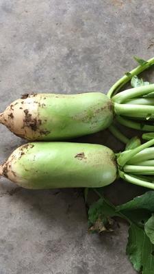 陕西渭南大荔县青头萝卜 1.5~2斤