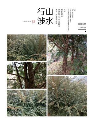 江西赣州崇义县南方红豆杉 2.5~3米