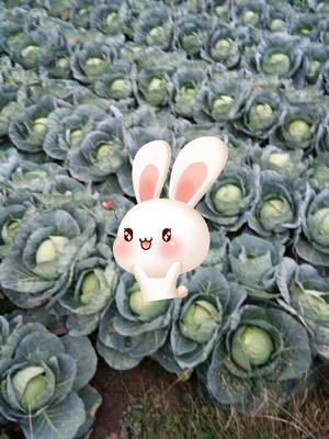 四川凉山西昌市中甘21甘蓝 2.0~2.5斤