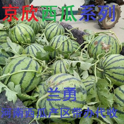 河南开封通许县京欣西瓜 有籽 1茬 9成熟 8斤打底