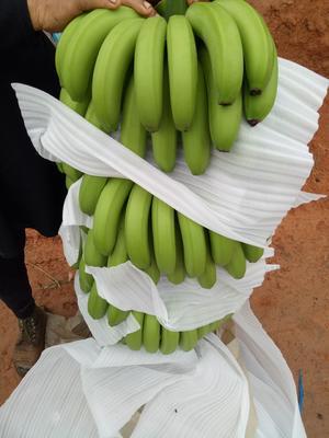 云南西双版纳景洪市西双版纳香蕉 七成熟 40 - 50斤