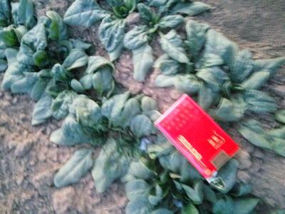 河南省焦作市修武县越冬菠菜 10~15cm