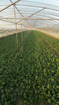 安徽蚌埠五河县小叶菠菜 10~15cm