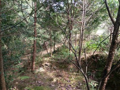 广东佛山禅城区曼地亚红豆杉 2.5~3米