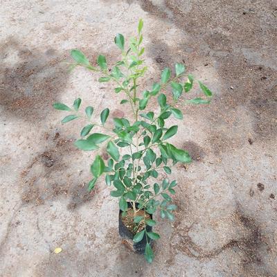 广东省广州市荔湾区千里香  绿色植物九里香袋苗