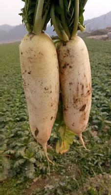 四川南充蓬安县白萝卜 1.5~2斤