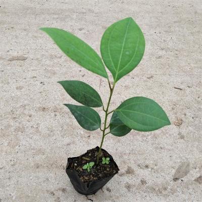 广东广州荔湾区平安树盆栽