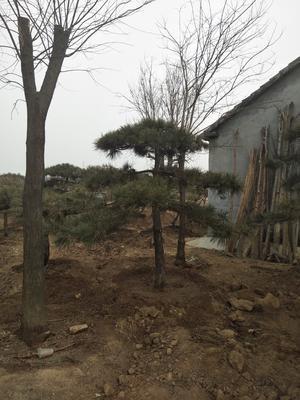 山东省泰安市岱岳区造型油松