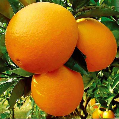 纽荷尔脐橙苗 嫁接苗 0.5米以下
