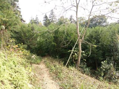 广东佛山禅城区南方红豆杉 2.5~3米
