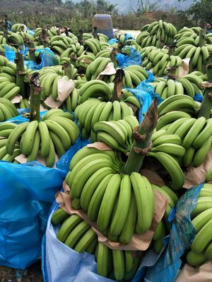 云南红河屏边苗族自治县威廉斯香蕉 七成熟 40 - 50斤