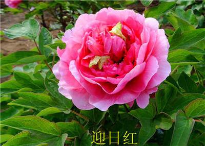 河南郑州金水区洛阳红 2cm以下 4cm以下 0.5米以下