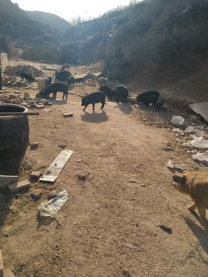 山西晋中榆次区土猪肉 生肉