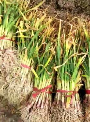 陕西西安长安区红根蒜苗 40cm以下