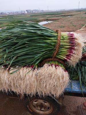 云南红河泸西县青蒜蒜苗 60 - 70cm