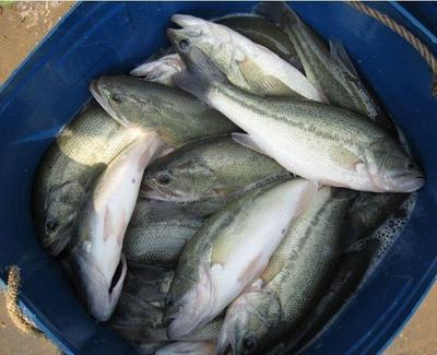 广西钦州浦北县加州鲈鱼 人工养殖 1-1.5龙8国际官网官方网站