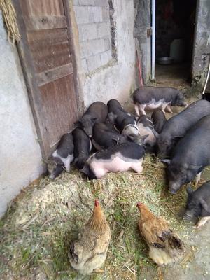 贵州黔西安龙县环江香猪 100斤以上