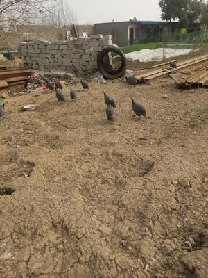 河南南阳新野县灰色珍珠鸡 2-4斤