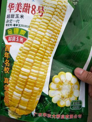 广东湛江遂溪县金银甜玉米 50% 鲜货