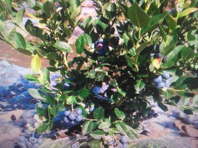 辽宁丹东宽甸满族自治县蓝丰蓝莓 鲜果 12 - 14mm以上