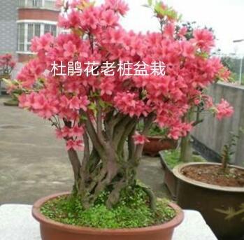 浙江丽水景宁畲族自治县映山红 0.5米以下