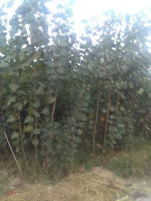 河北沧州泊头市杨树苗及种条插穗