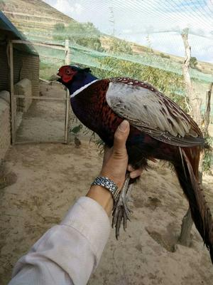 青海海东平安区七彩山鸡 2-3斤