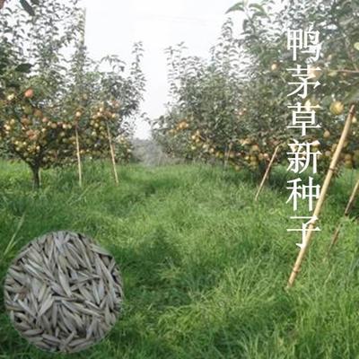 江苏宿迁沭阳县鸭茅种子