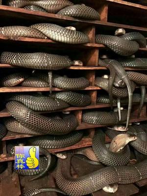 广东东莞东莞眼镜蛇 食用