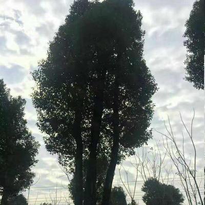 四川乐山峨边彝族自治县小叶樟